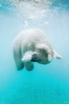 polar bear swimming