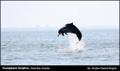 The Indus River dolphin
