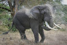 Bull Elephant - Burrard-Lucas Photography