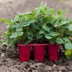 tips-para-cultivar-fresas-01 Cilantro, Gardens, Grow Strawberries, Vegetable Gardening, Create, Plants