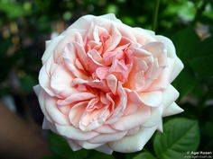 Pale pink and apricot Aphrodite rose.
