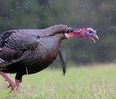 Peak Gobbling: 7 Days You Must Turkey Hunt This Spring. In the rain, that's us every time! Quail Hunting, Deer Hunting Tips, Turkey Hunting, Hunting Dogs, Archery Hunting, Hunting Stuff, Crossbow Hunting, Hunting Birds, Coyote Hunting
