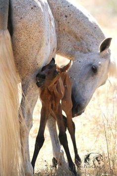 Flea bitten mare and sweet little newborn foal.