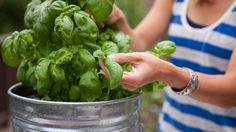 Get more from your basil through harvesting. It's simple. The more you pick the more it grows. Here are the how's and why's for growing and picking basil. Fruit Garden, Edible Garden, Herb Garden, Container Gardening, Gardening Tips, Vegetable Gardening, Healthy Eating Recipes, Plant Care, Cooking Tips