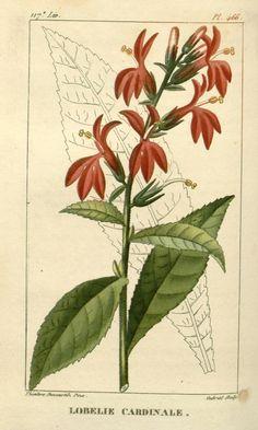 Lobelia cardinalis. ct. 7 - Flore médicale des Antilles, ou, Traité des plantes usuelles : - Biodiversity Heritage Library