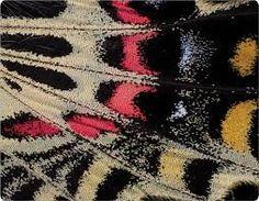 Resultado de imagem para butterfly wing close up