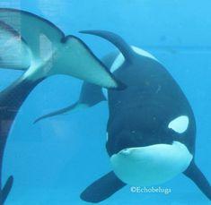 Orcas Seaworld, Seaworld Orlando, Water Animals, Wale, Throughout The World, Sea World, Nature, Naturaleza, Nature Illustration