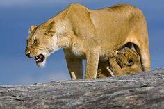 Lion-cubs-suckling-on-angry-lioness-Seronera-Serengeti-Tanzania.jpg (610×407)