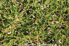 plantas de arandano rojo, ideales como tapizantes, para cubrir terraplenes y además cosechar frutos