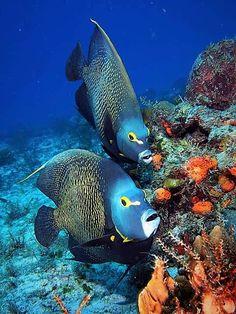 Tropical Fish visiting a Reef.