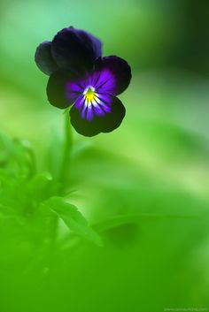 Pansies... one of my faves - by Anna Utkina Photography