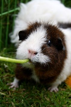 Guinea pig is eating dandelion by ~xcristiex on deviantART