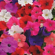 Whether it's sunflowers and lavender in your Zen garden or snap dragons, impatiens and Mexican petunias for a bolder statement, the perfect garden is at your fingertips. Full Sun Plants, Blooming Plants, Large Plants, Flowering Plants, Fall Hanging Baskets, Hanging Plants, Planting Bulbs, Planting Flowers, Fall Crops