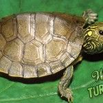 Go slow and steady on the World Turtle Day