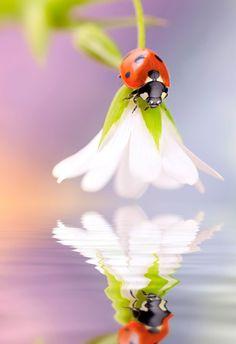 Ladybird water reflection by Tomasz Skoczen I Kíváncsi katica