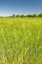 Gerste, Hordeum vulgare, Feldwirtschaft