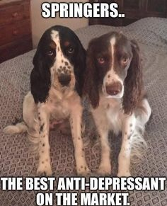 I wouldn't say the best anti depressant but they are certainly the best dogs who brighten up your day or will be willing to lie next to you while you get some much needed rest from the pressures of the world. Springer Spaniel Puppies, English Springer Spaniel, Cocker Spaniel, I Love Dogs, Puppy Love, Cute Dogs, Field Spaniel, Memes Of The Day, Dogs And Puppies