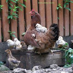 família de galinha e seus pintinhos