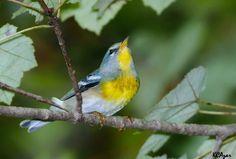 Northern Paula. Photo by Kelly Colgan Azar, via National Audubon society.