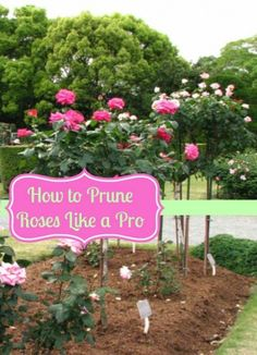 The Best Way To Prune Roses | How To Prune Roses Like a Pro! - Moms Need To Know ™