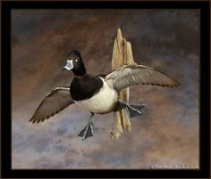 ringneck duck mount - Google Search
