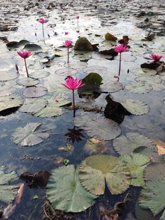 Lily or lotus? Angkor Wat