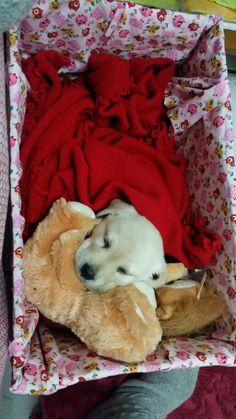 Labrador, filhote... Jujuba... Amooo. ..