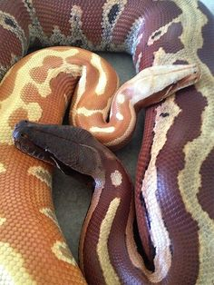 Blood Pythons.. Awwww they're cuddling!