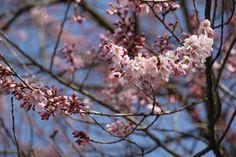 延命地蔵堂の桜 4/15(咲き始め)
