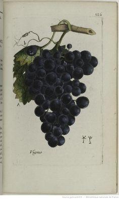 Bulliard, Pierre (1742-1793)