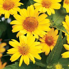 'Tuscan Sun' Perennial Sunflower Heliopsis