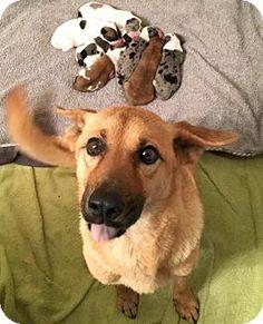Aurora, CO - Australian Shepherd/German Shepherd Dog Mix. Meet Penny, a dog for adoption. http://www.adoptapet.com/pet/15583553-aurora-colorado-australian-shepherd-mix