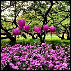 Long Purple #tulips in #keukenhof #holland #ubiquography #dutch #keukenhof #igersholland #jj_forum #tulipfieldsexperience - @alanisko- #webstagram