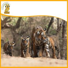 What is better than spotting one tiger cub in the wild? Forest officials of the Dudhwa Tiger Reserve in Uttar Pradesh say that camera trap results show at leastRead More. In China, Wildlife Tourism, Tiger Images, Funny Animals, Cute Animals, Funniest Animals, Jim Corbett National Park, Amur Leopard, Wild Tiger