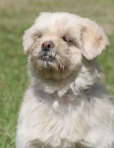 Senior Lhasa Apso looking for home.  Currently at ARC in Fort Myers.