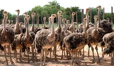 Safari Ostrich Farm is a working ostrich farm in Oudtshoorn which offers ostrich farm tours, restaurant & shopping in the Garden Route, South Africa. South Africa Wildlife, South Africa Tours, Ostriches, Countries Of The World, Safari, Tourism, Places To Visit, Animals, Snakes