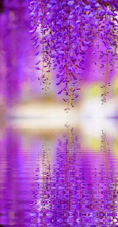 """purple wisteria reflection by JBot"" Beautiful flowers, beautiful photo. Purple Love, All Things Purple, Shades Of Purple, Purple Rain, Purple Stuff, Purple Ombre, Bright Purple, Periwinkle, Pretty Flowers"