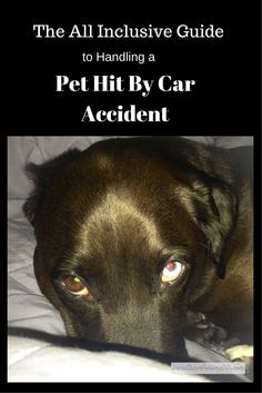 Save a pet with hit by car trauma. There were over six million acknowledged hit by car accidents involving pets in the United States last year. Follow this all inclusive guide to save a pet when it needs you the most.