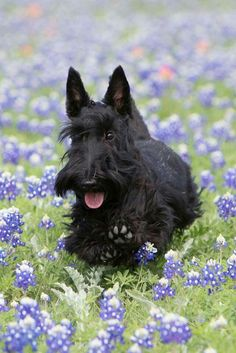 Reminds me of my beloved Zambi #yuki #yukituristainsolita #dog #scottishterrier #wheatscottie #cachorro  #cachorroetudodebom #pet #pets #petsofinstagram #petsgram #instapuppy #cute #instacute #instapet #puppylove #puppygram #scotties #terrier #scottishterriersofinstagram #puppiesofinstagram #scottielove #scottielove #scottish_terrier #scottielovers #scottieobsessed #scottiegram #scottishterribles #themostbeautifuldogintheworld