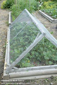 Wire mesh cover over strawberries in raised bed vegetable garden [Fragaria cv.]. Reid, Christina Lake, BC. © Mark Turner