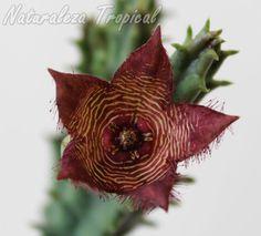 Vista de frente de la flor de la planta suculenta Tromotriche revoluta var. tigrida aún sin abrir por completo
