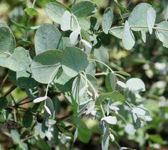 3 Eucalyptus gunnii Cider Gum Coppice Evergreen Hedging / Tree damp ground