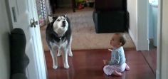 Это так смешно! Посмотрите как хаски имитирует звуки малыша! - http://pixel.in.ua/archives/10202