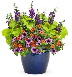 """Container recipe:1 Angelface® Blue  Summer Snapdragon; 3  Superbells® DreamsicleCalibrachoa hybrid; 2 Supertunia® Bordeaux Petunia hybrid;  1 ColorBlaze® LifeLime Coleus. Use 4.5"""" plants and plant in 18"""" container. Put the snapdragons and coleus to the center and the other plants to the outside. Put in sun."""