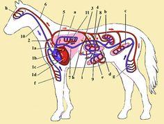 Bloedsomloop van het paard