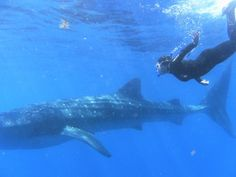 Pink Pangea Feature: Swimming with Whale Sharks Shark In The Ocean, Swimming With Whale Sharks, Blue Shark, Gulf Of Mexico, Caribbean Sea, Deep Blue, Digital Camera, Adventure, Whales