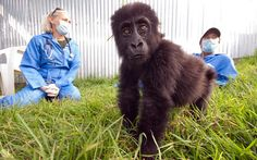 Gorilla Doctors!! A young orphaned gorilla is cared for by Dawn Zimmerman and another gorilla doctor in a sanctuary in Rwanda. WHEN zoologist Dian Fossey was murdered in 1985 there were just 250 mountain gorillas left in Africa's Virunga mountains. But thanks to The Gorilla Doctors she inspired, they have doubled in number. The multi-national group operates in the heart of the jungle, treating maimed and critically ill gorillas. Picture: Molly Feltner/Gorilla Doctors/Barcroft Media