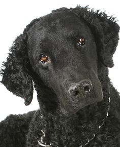 Curly Coated Retriever | Overview Pictures & Videos Suitability Find a Curly Coated Retriever