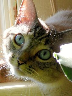 """""""Any conditioned cat hater can be won over by any cat who chooses to make the effort.""""       Paul Corey"""