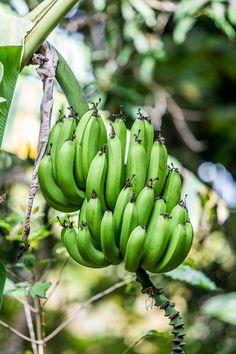 Bananes des Antilles Exotic Fruit, Tropical Fruits, Banana Plants, Exotic Pets, Exotic Animals, West Indies, Saveur, Holiday Travel, Caribbean